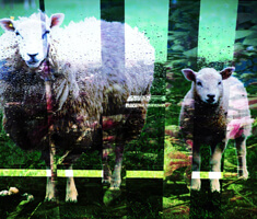 a photograph of two sheep with a graphic overlay